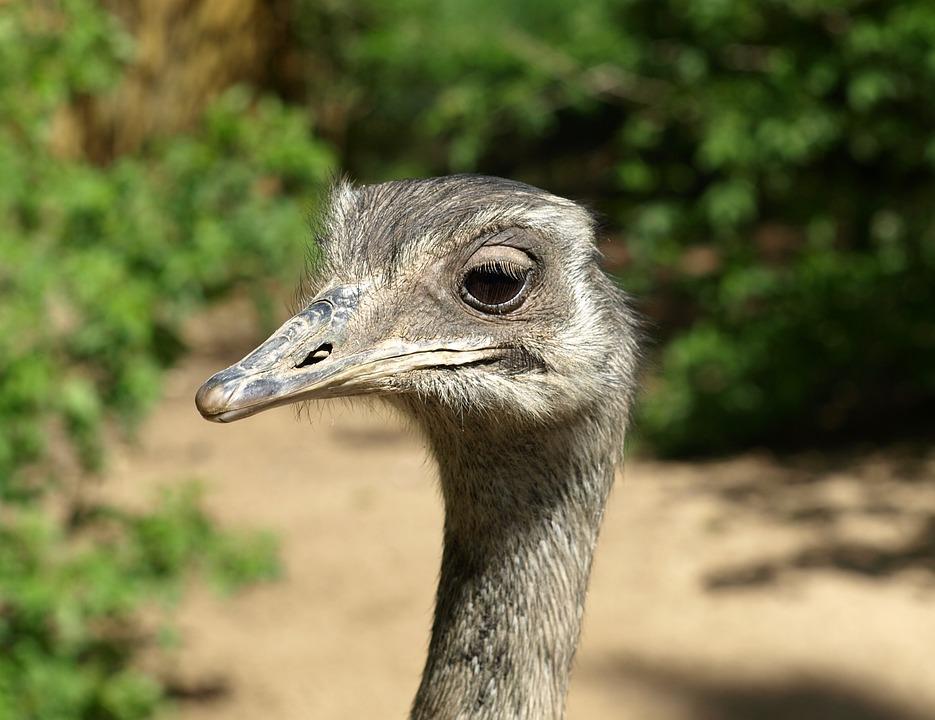 Rhea Bird, Flightless Bird, Head, Big Bird, Portrait