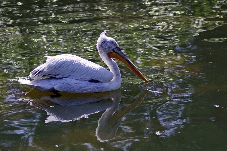 Pelikan, Bird, Beak, Long, Water, Floats, Pond, Nature