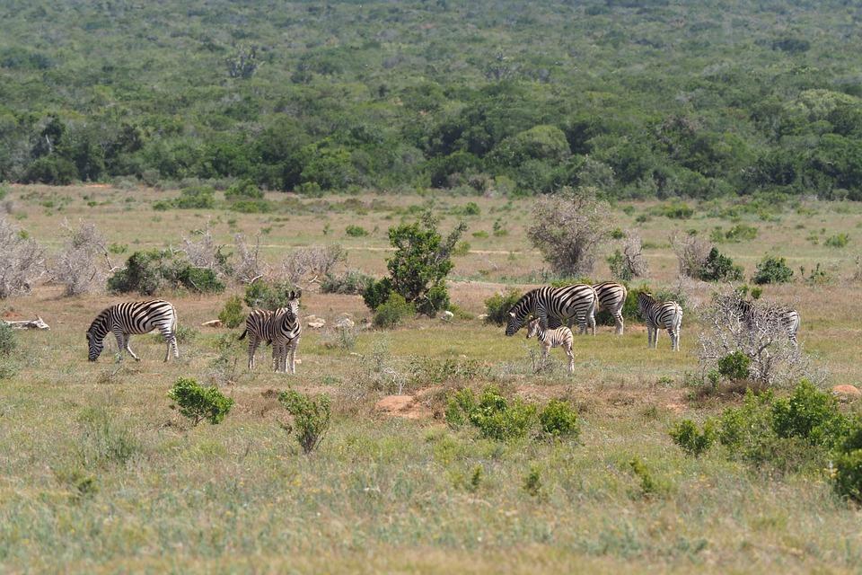 Zebras, Flock, National Park, Black And White, Drawing