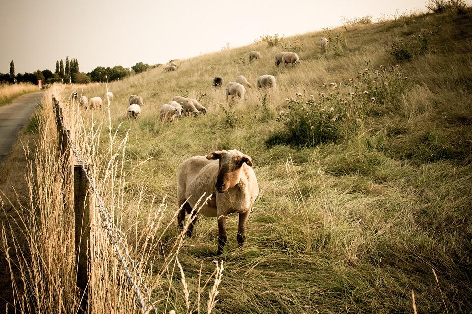 Sheep, Dike, Nature, Animals, Wool, Flock, Meadow, Lamb