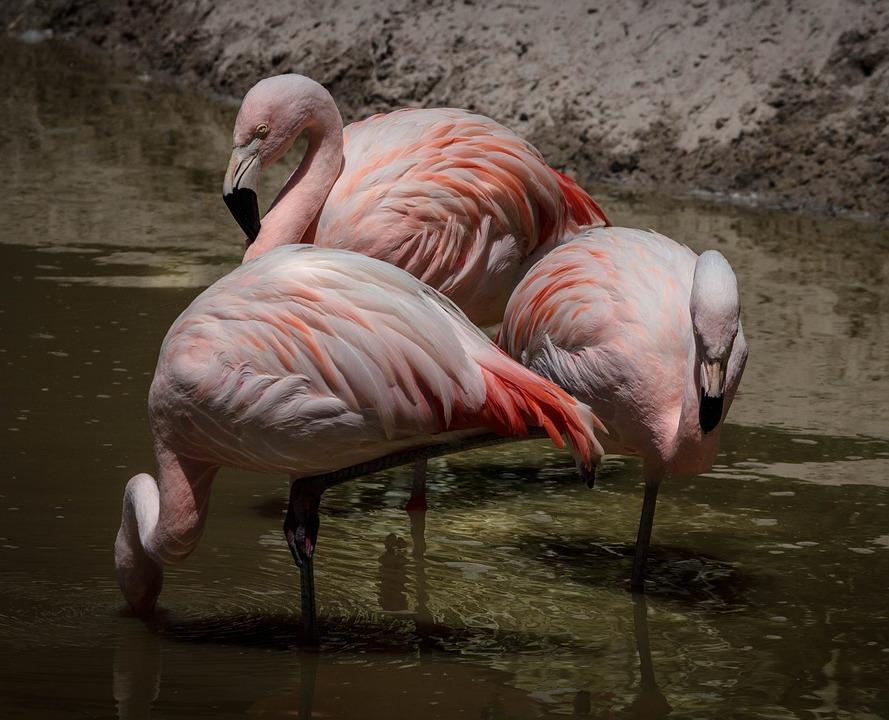 Flamingo, Pink Flamingos, Wading Bird, Flock, Feathers