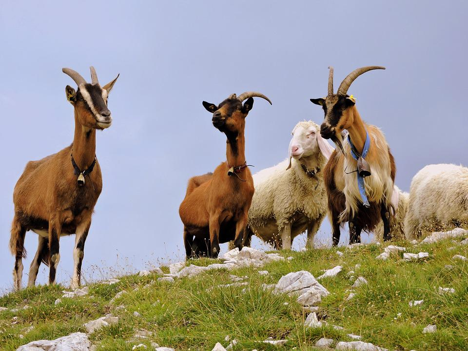 Capra, Sheep, Flock, Grass, Mountain, Green, Prato