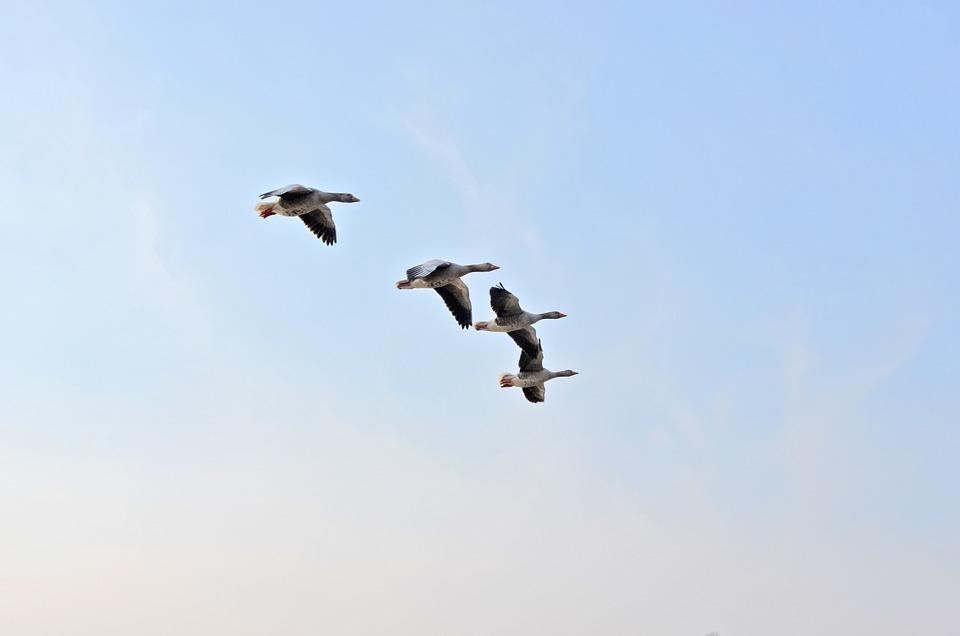 Wild Geese, Birds, Migratory Birds, Flock Of Birds, Sky