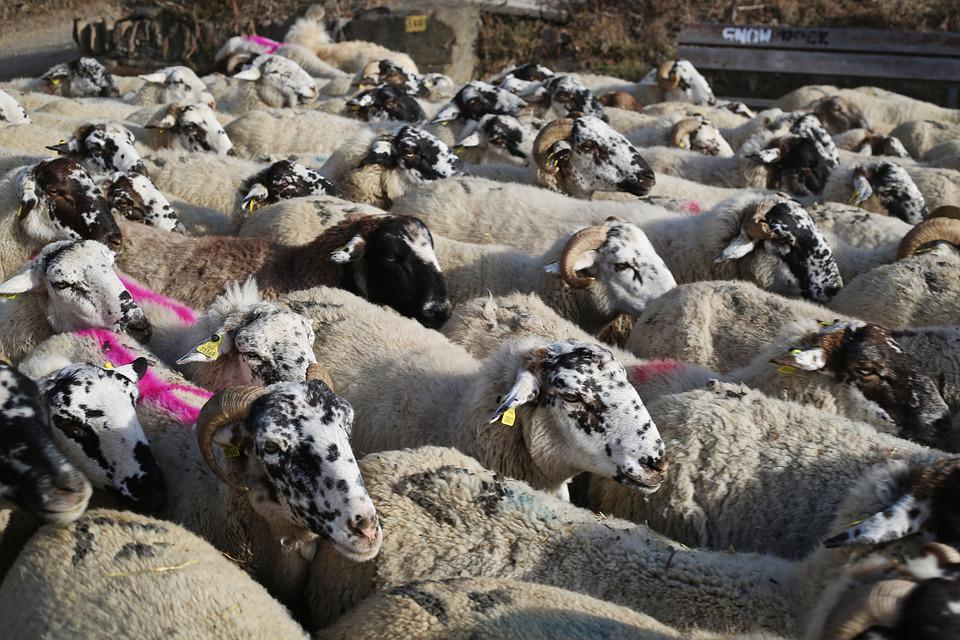 Sheep, Flock, Pastor
