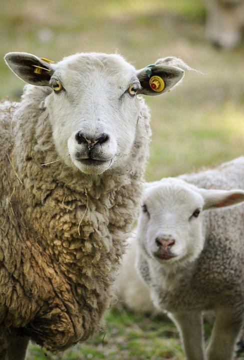 Sheep, Mammal, Lamb, Animal, Wool, Nature, Flock