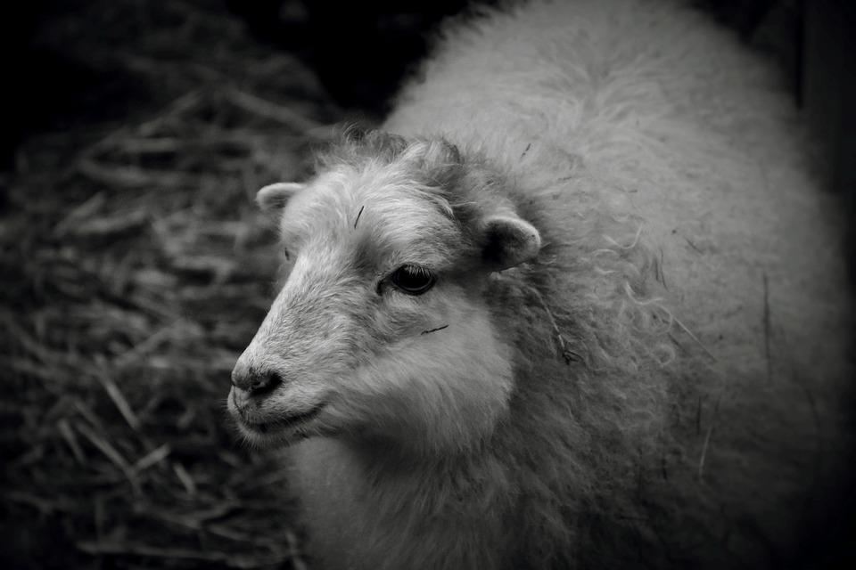 Sheep, Wool, Animal, Agriculture, Cattle, Rural, Flock
