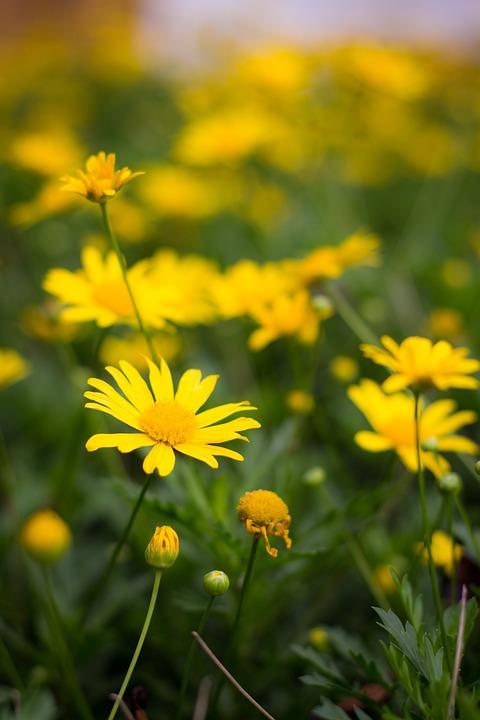 Margarita, Flor, Flores, Flower, Colorful, Plant