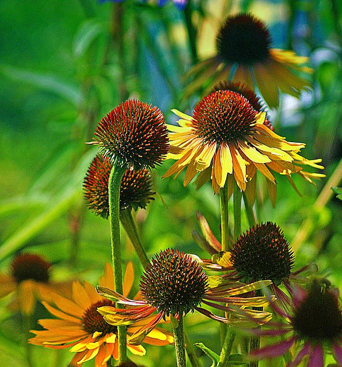 Rudbekia, Flower, Flowers Yellow, Asteraceae, Flora