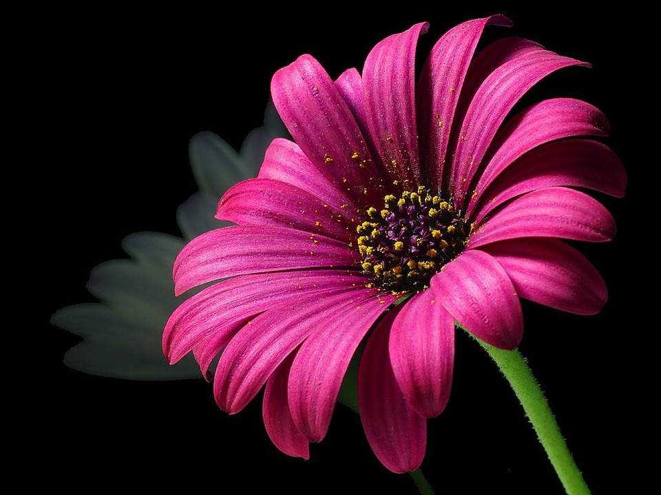 free photo flora beautiful pollen flower daisy color nature  max, Beautiful flower