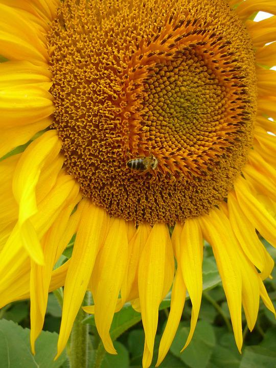 Sunflower, Bee, Nature, Yellow, Flora, Summer, Pollen