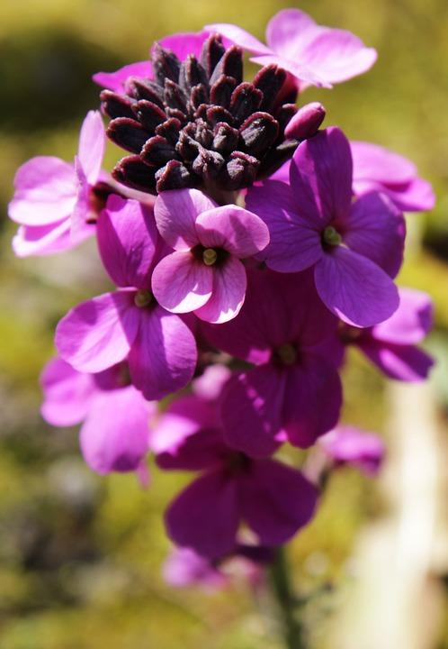Flower, Wallflower, Plant, Garden, Nature, Flora, Bloom