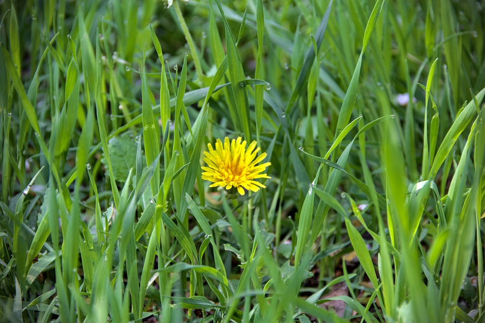 Dandelion, Grass, Yellow Flower, Bloom, Blossom, Flora