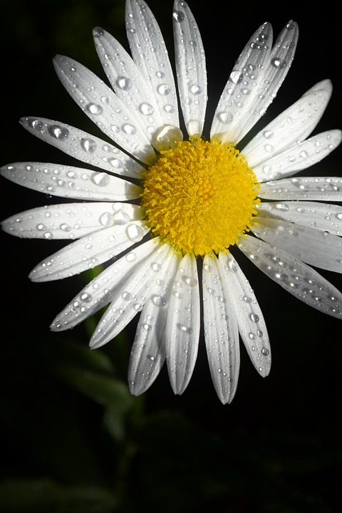 Bloom, Blossom, Close-up, Daisy, Dew, Dewdrops, Flora