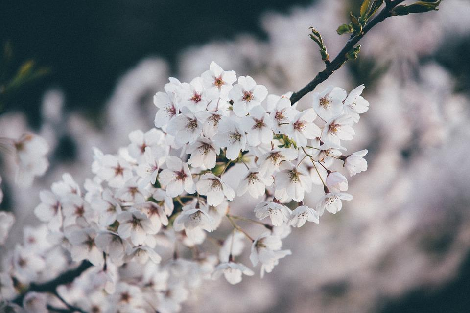 Bloom, Blossom, Flora, Flowers, Nature, Plant, White
