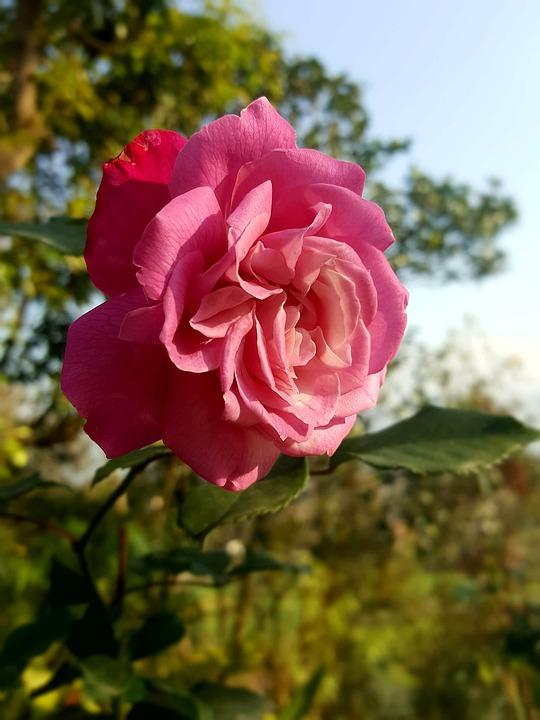 Rose, Flora, Blossom, Spring