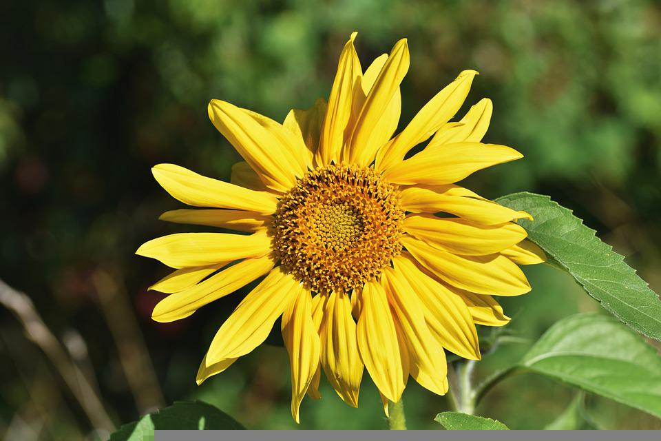 Sunflower, Yellow Flower, Garden, Blossom, Bloom, Flora