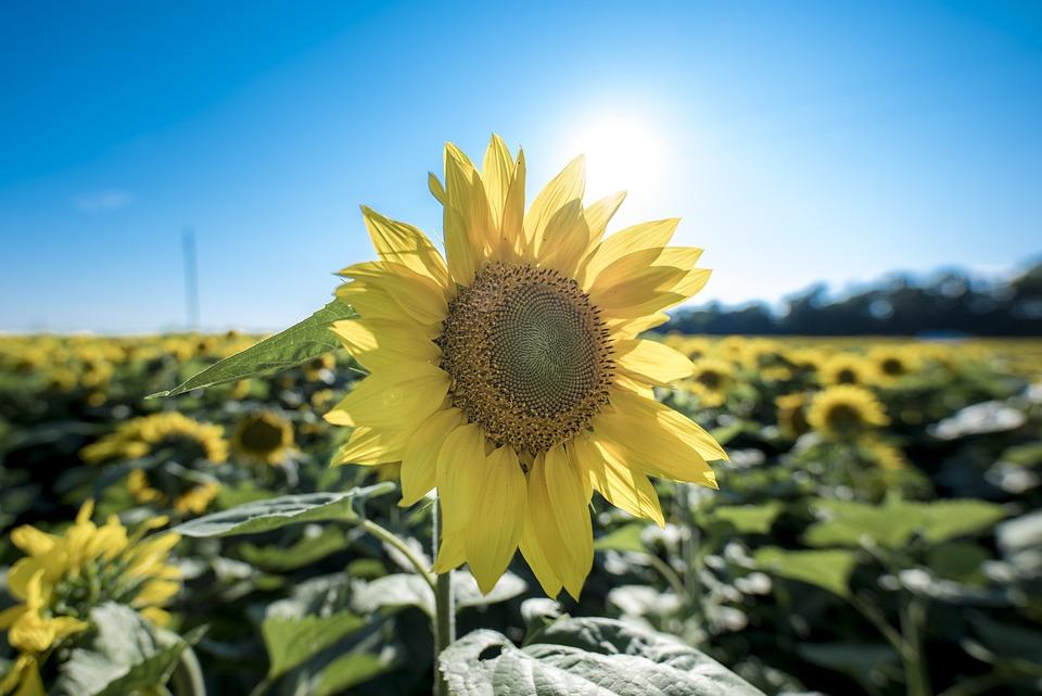 Sunflower, Petals, Bloom, Flower, Flora, Blossom