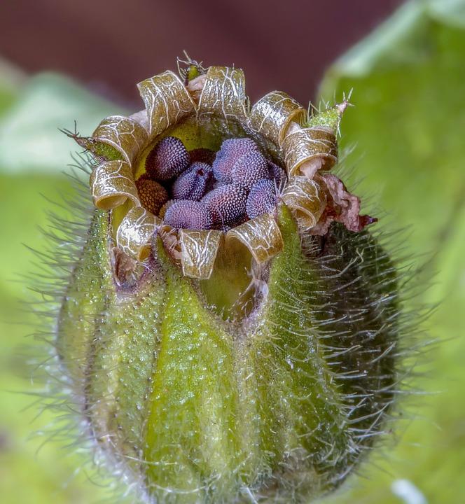 Red Campion, Wildflower, Seed Head, Botany, Flora