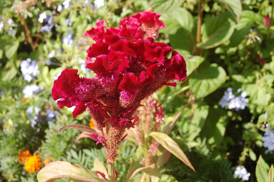 Cockscomb, Wool Flower, Celosia, Red Flower, Flora