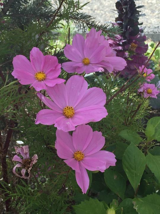 Cosmos, Flower, Nature, Flora, Summer, Blossom