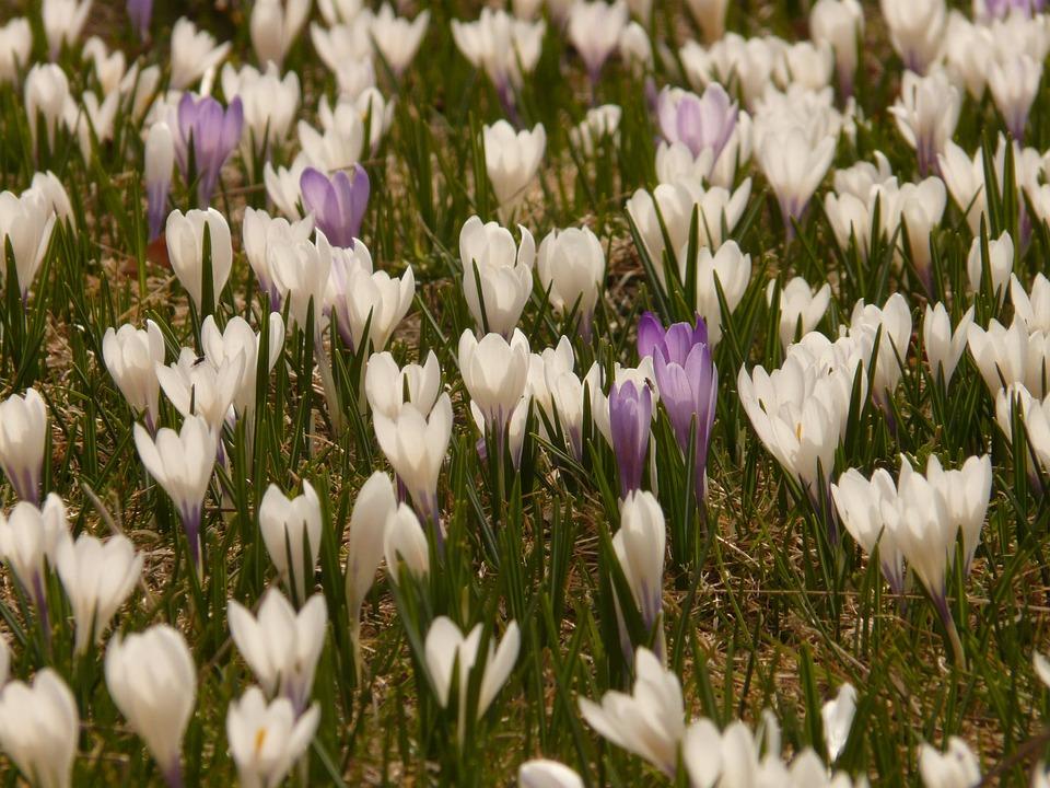 Crocus, Spring Crocus, Alpine Crocus, Flower, Flora