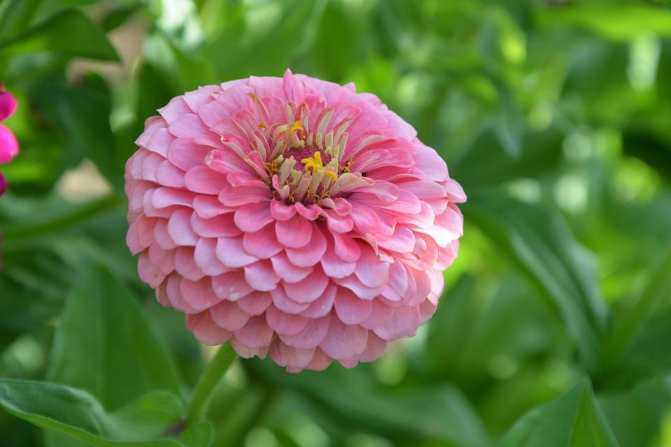 Flower, Flower Dahlia, Dahlia Rose, Flora, Plants
