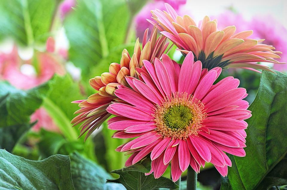 Daisy, Pink, Green, Gerber Daisy, Blossom, Flora