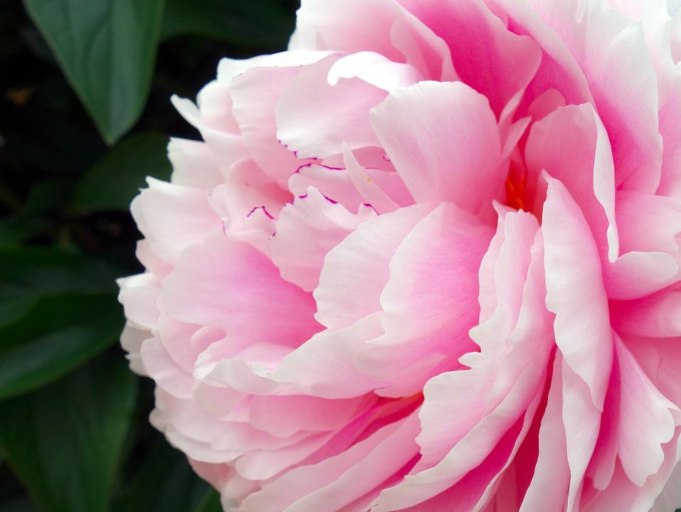Peony, Blossom, Bloom, Double Flower, Flower, Flora