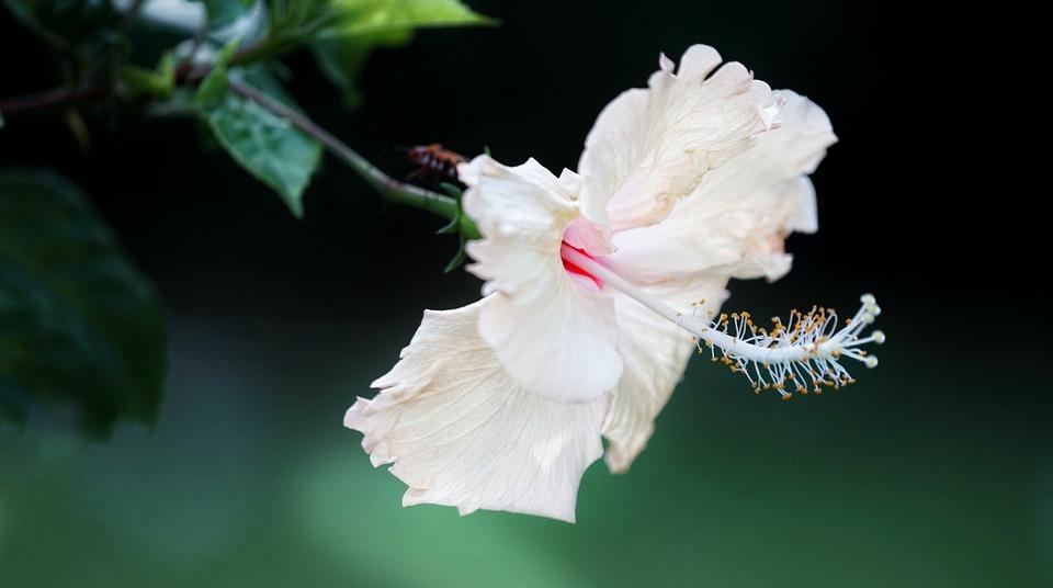 White, Hibiscus, Blooming, Great, Elegant, Flora