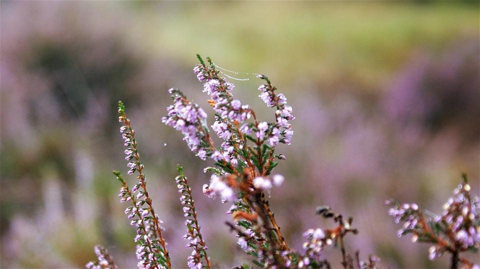 Heide, Bush, Ericaceae, Flowers, Vegetable, Flora