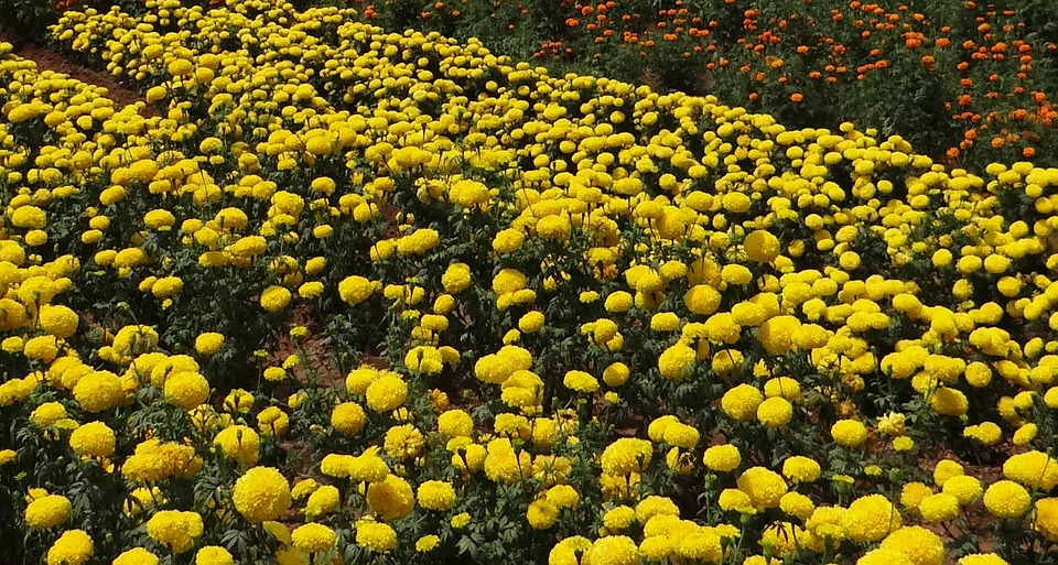 Marigold, Flower, Yellow, Gold, Floral, Flora, Field