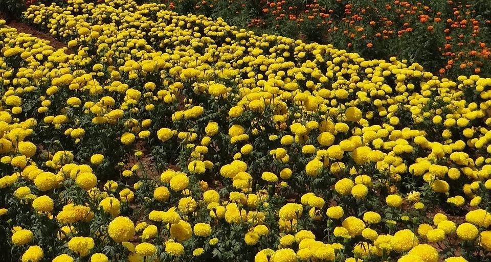 Marigold, Flower, Yellow, Gold, Floral, Flora, Field