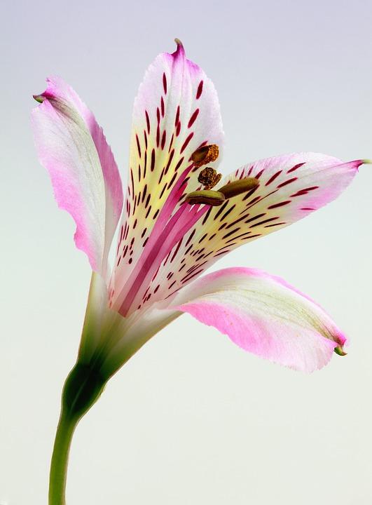 Lily, Flower, Floral, Flora, Nature, Blossom, Plant