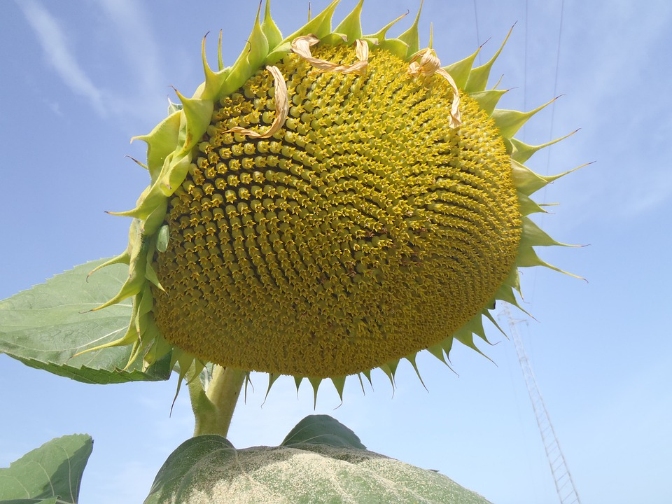 Sunflower, Flower, Floral, Blossom, Flora, Blooming