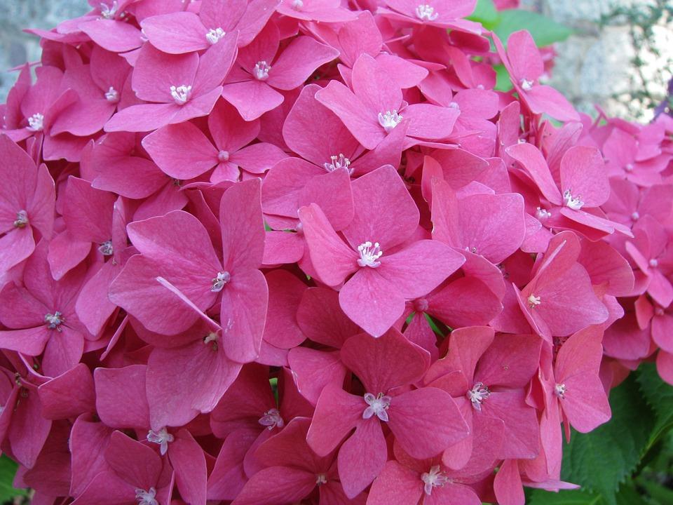 Hydrangea, Flower, Blossom, Bloom, Flora