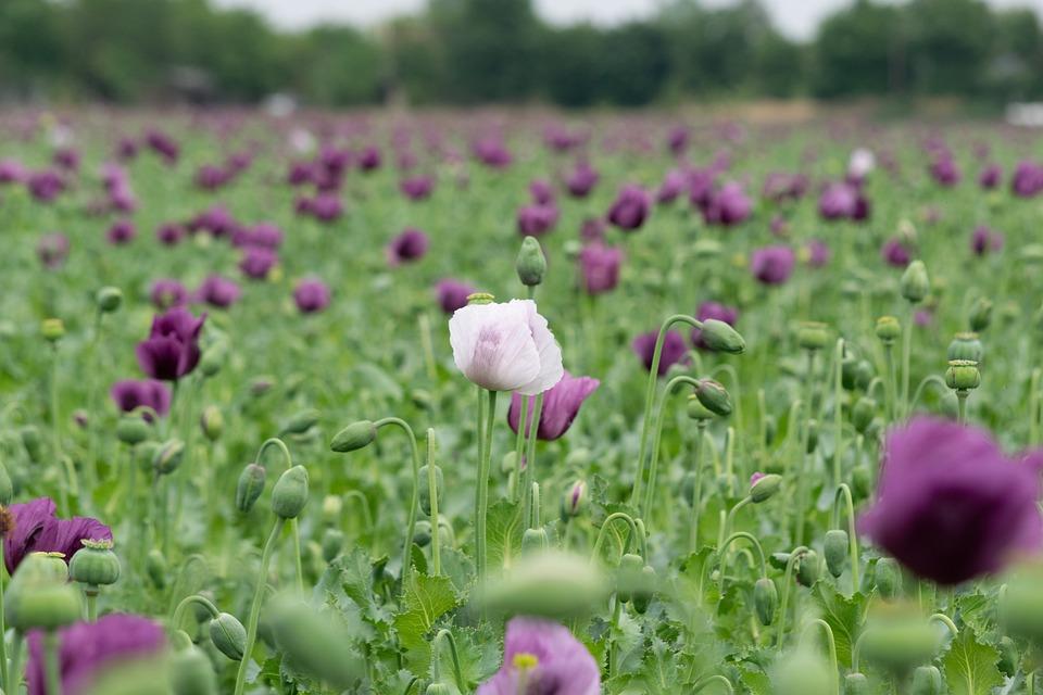 Poppy, Flower, Flora, Bloom, Agriculture