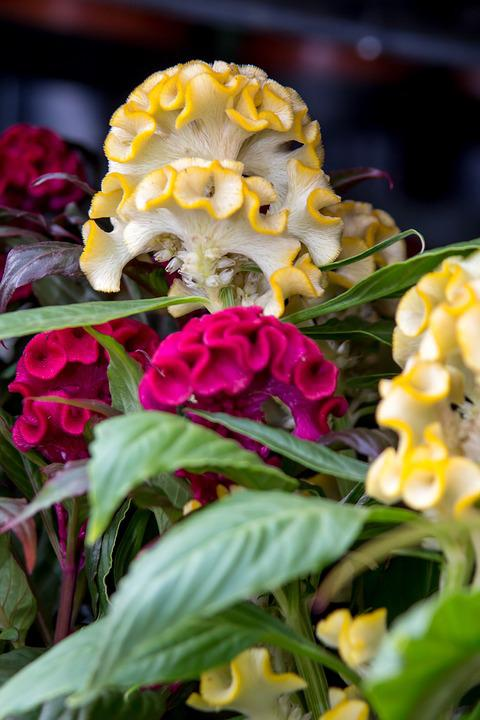 Celosia, Flower, Red, Yellow, Flora, Nature, Blossom