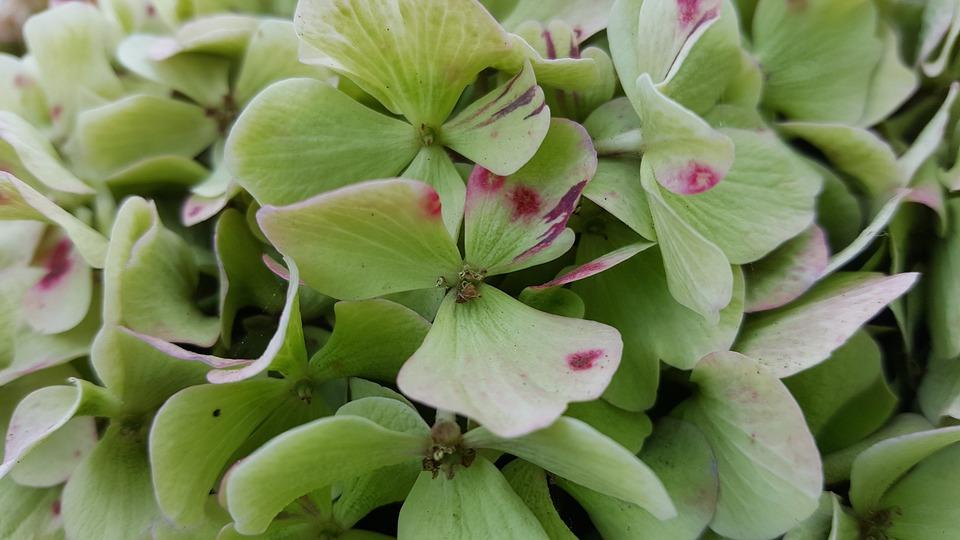 Hydrangea, Flower, Macro, Flora, Close Up, Plant
