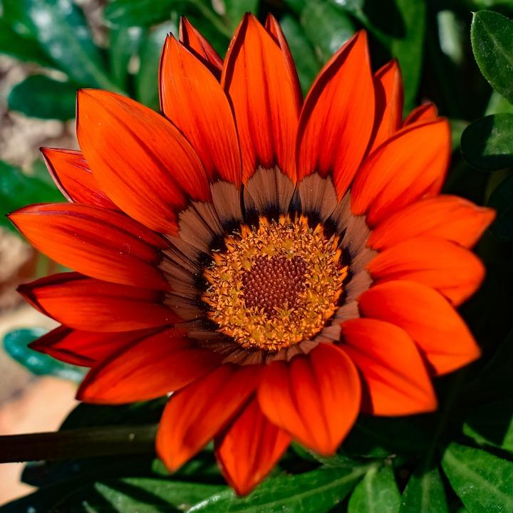 Gazania, Flower, Flora, Petal, Nature, Spring, Garden