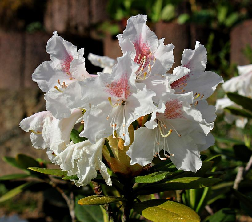 Rhododendron, Flower, Garden, White, Flora, Nature