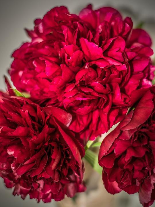 Bouquet, Peonies, Flower, Close Up, Flora