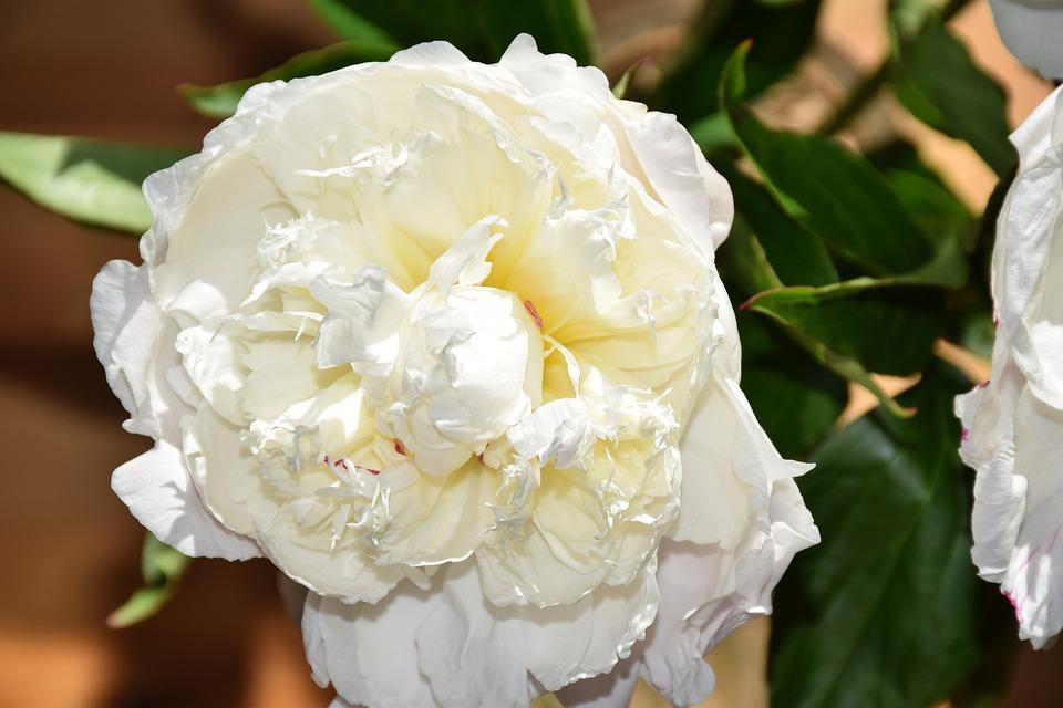 Flowers, Peonies, Peony, Flower, Still Life, Flora