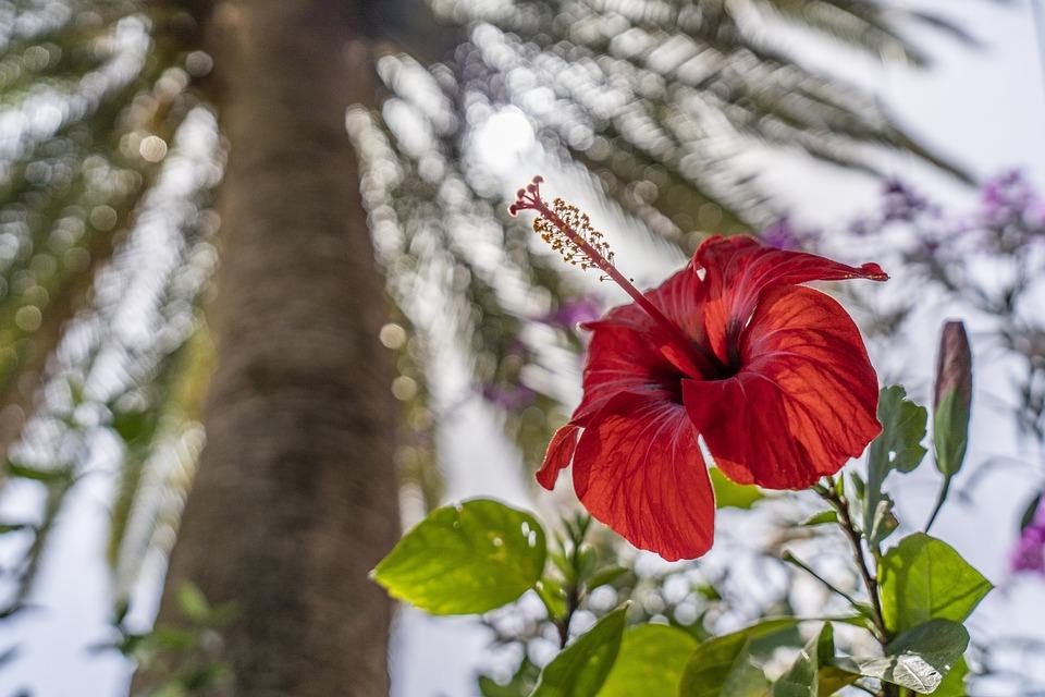 Plant, Flower, Hibiscus, Nature, Red, Flora