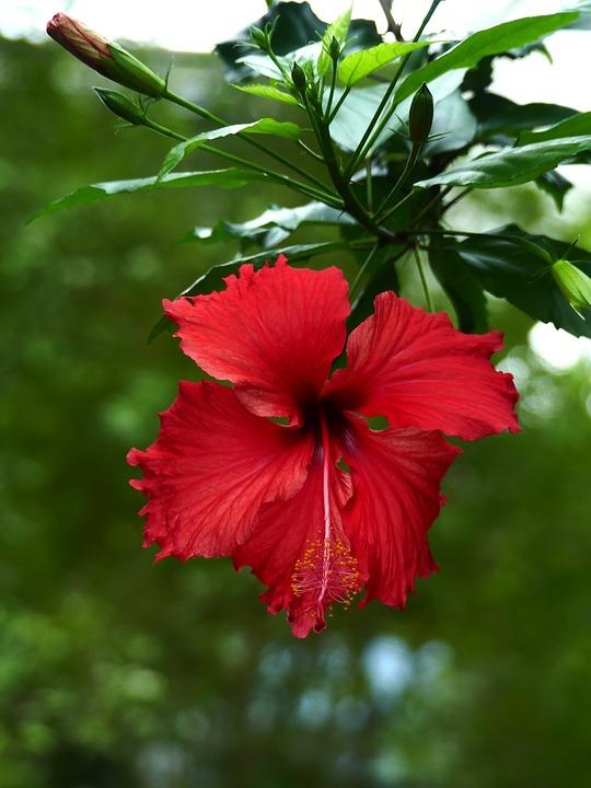 Blossom, Bloom, Flower, Nature, Plant, Flora, Red