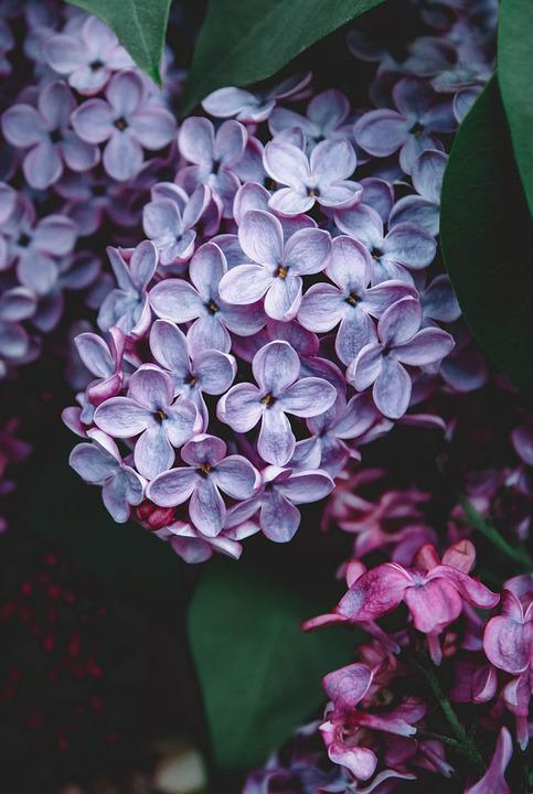 Lilac, Spring, Flowers, May, Purple, Garden, Flora