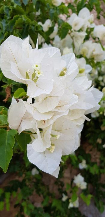 White, Flower, Spring, Plant, Flowers, Flora, Nature
