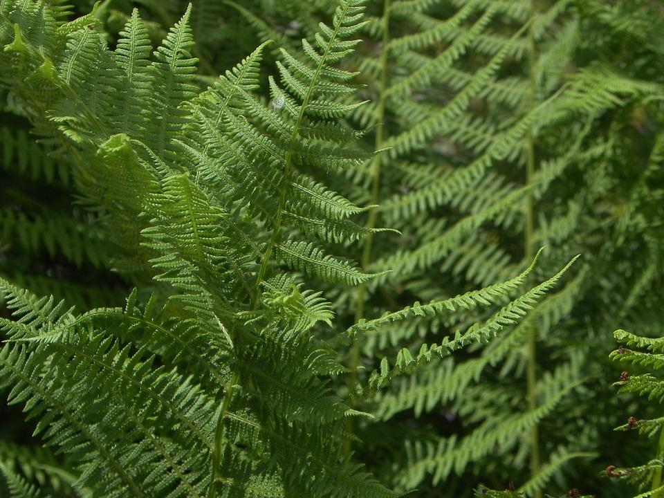 Fern, Fern Green, Flora, Forest, Nature, Rotated