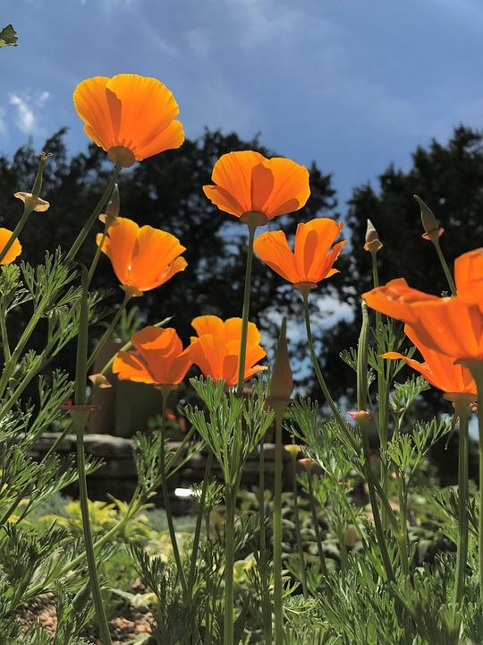 Flower, Nature, Flora, Summer, Garden, Poppy, Floral