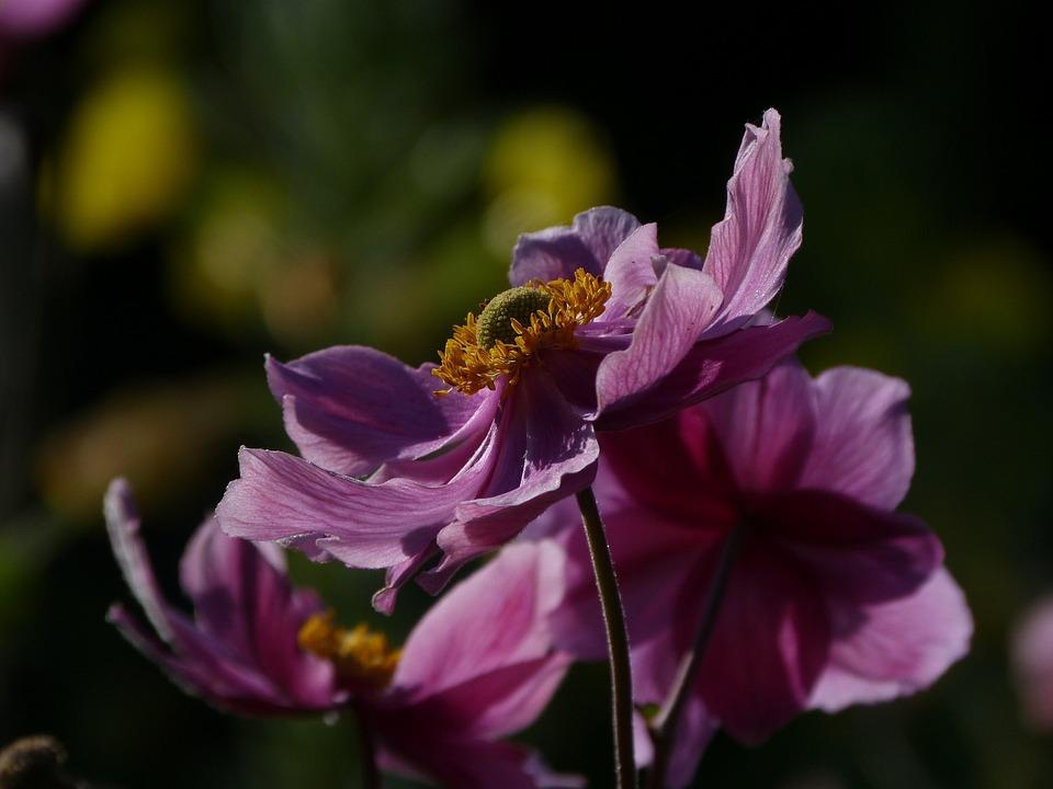 Flower, Nature, Flora, Garden, Summer, Pink, Petals