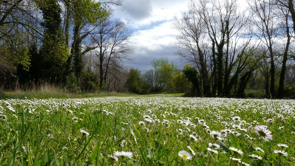Daisies, Flowers, Flora, Pre, Prairie, Green, Grass